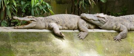 Crocodiles resting in the sun (zoo Saigon, Vietnam) Stock Photo - 18994798