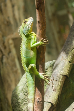 Iguana in a tree at a zoo in Vietnam (Saigon) photo