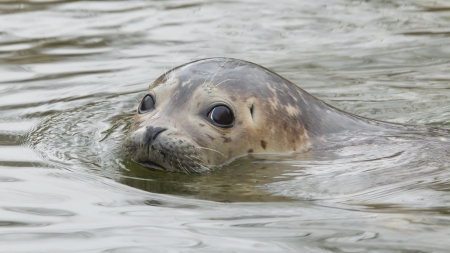 kisser: Young grey seal swimming in the water