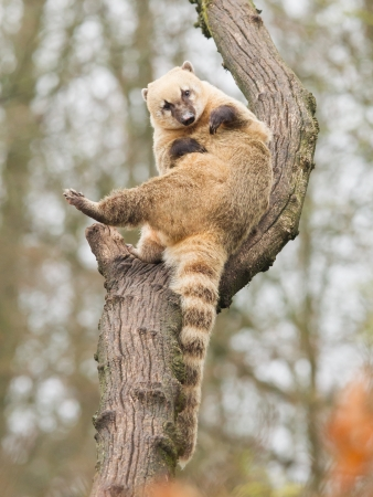 Coatimundi scratching himself in a tree (zoo, Holland) Stock Photo - 19120784