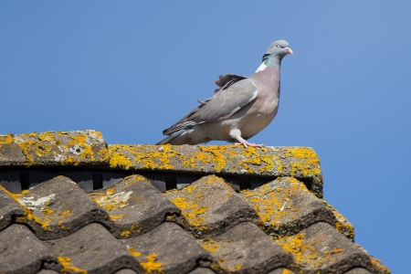 Single pigeon on top of the roof photo