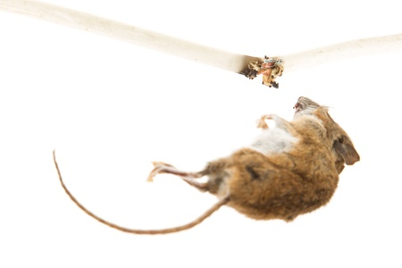 Mouse killed by chewing on a power cable, selective focus on cable photo