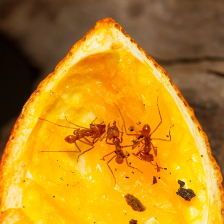 acromyrmex: Leaf cutter ant in a dutch zoo