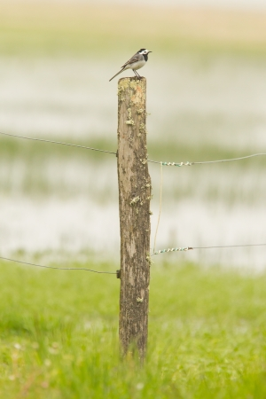 Small wagtail sitting on top of a weathered pole in a green meadow Stock Photo - 19557729