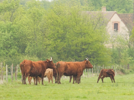 cattle wire: Red Angus steer in a field of green grass