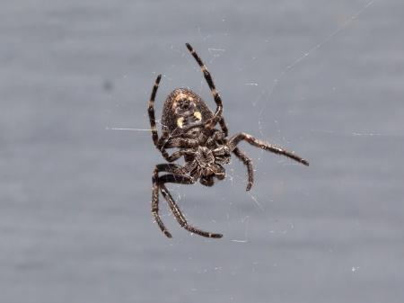 arachnidae: Small cross Spider (Araneus diadematus) with a natural grey background