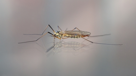 Crane fly also known as Daddy Long Legs, sitting on glass photo