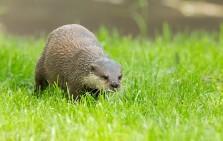 Wet otter is standing in the green grass, Holland photo