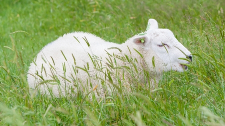 lambing: Sheep resting in the green grass, Holland Stock Photo