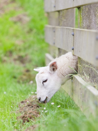 the other side: Sheep eating, grass is greener at the other side of the fence