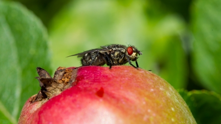 Fly sitting on top of a red apple Stock Photo - 21451208