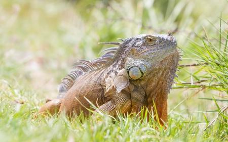 Iguana (Iguana iguana) in its natural habitat