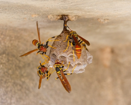 spaniard: Jack Spaniard wasps on a small nest, Caribbean