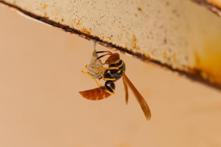 spaniard: Jack Spaniard wasp building a small nest, Caribbean