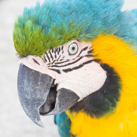 Yellow Macaw in a zoo in the Caribbean photo