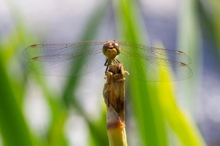 vulgatum: Orange dragonfly resting on grass - Sympetrum vulgatum