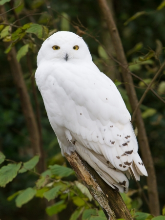snowy owl: Snow owl resting in its natural habitat
