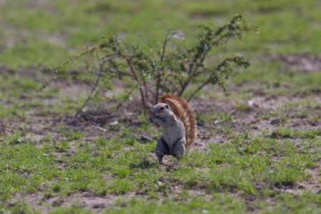Ground squirrel eating on the Etosha plains, Namibia photo