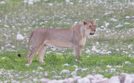 Lioness walking on the plains of Etosha, Namibia photo