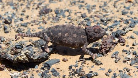 namib: Namaqua Chameleon hunting in the Namib desert, Namibia Stock Photo