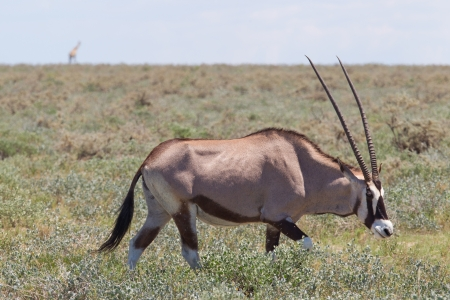 Gemsbok antelope (Oryx gazella), Etosha national park, giraffe in the background photo