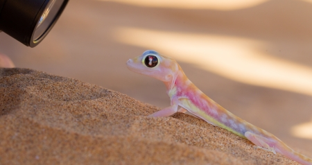 Palmatogecko (Pachydactylus rangei), also known as Web-footed Gecko, being photographed photo