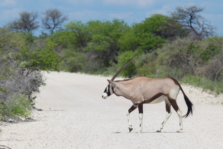 Gemsbok antelope (Oryx gazella) crossing a gravel road photo