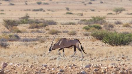 Gemsbok antelope (Oryx gazella), Namib desert, Namibia Reklamní fotografie