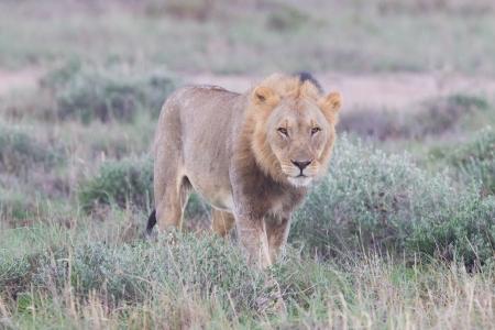 prowling: Lion walking on the rainy plains of Etosha, Namibia