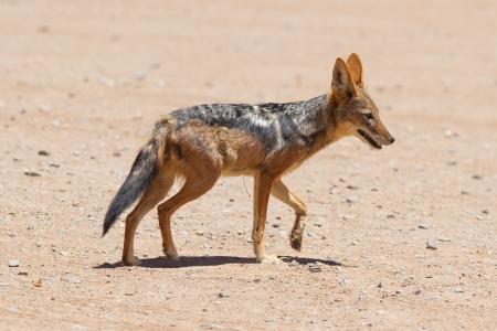 monogamous: Black-backed jackal in african desert, Sossusvlei, Namibia Stock Photo