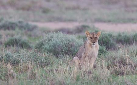 Lion walking on the rainy plains of Etosha, Namibia photo