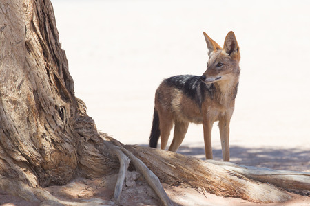 Black-backed jackal in african desert, Sossusvlei, Namibia photo