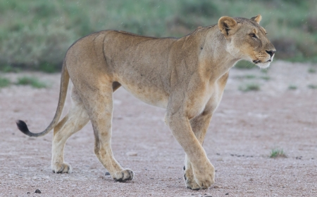 Lion walking on the rainy plains of Etosha, Namibia photo