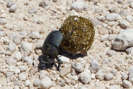 faeces: Dung beetle pushing its ball of dung, Etosha, Namibia