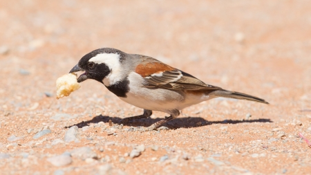 passer    by: Cape Sparrow (Passer melanurus), a common species in Namibia Stock Photo