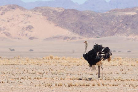 high  metabolic rate: Male ostrich walking in the Namib desert, Namibia Stock Photo