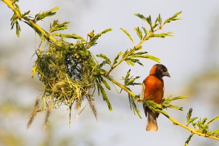 Southern Red Bishop busy building a nest, Namibia photo