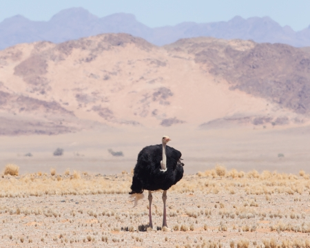 bipedal: Male ostrich walking in the Namib desert, Namibia Stock Photo