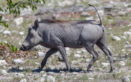 Warthog walking in Etosha National Park, Namibia photo