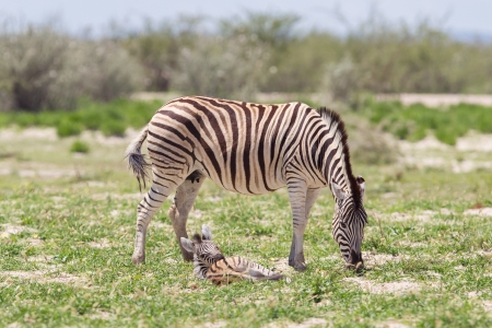 burchell: Burchells zebra (Equus Burchelli) with young, Etosha National Park, Namibia Stock Photo
