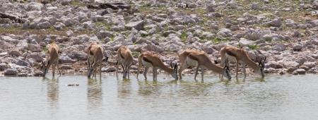 antidorcas: Springbok antelope (Antidorcas marsupialis), close-up, drinking, Etosha National Park, Namibia Stock Photo