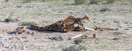 Gedood giraffe in Etosha National Park, Namibië
