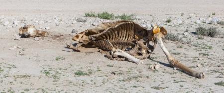 Getötet Giraffe im Etosha National Park, Namibia Standard-Bild - 25174390