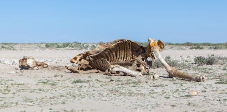 Getötet Giraffe im Etosha National Park, Namibia Standard-Bild - 25174391