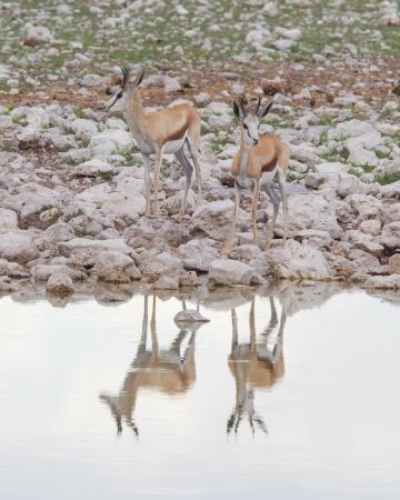 antidorcas: Springbok antelope (Antidorcas marsupialis), Etosha National Park, Namibia Stock Photo