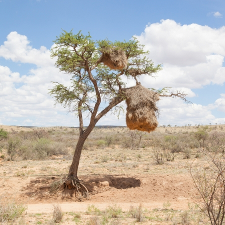 weaver bird nest: Weaver bird nest in the Namib desert, Namibia, Africa