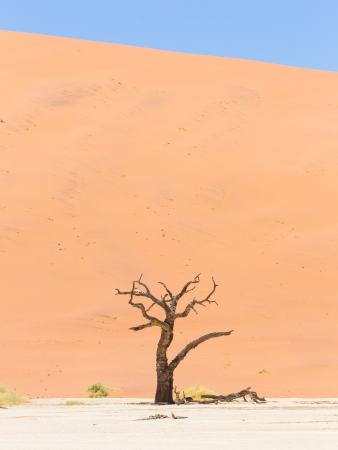 Lonely dead acacia tree in the Namib desert, Deadvlei (Sossusvlei), Namibia photo