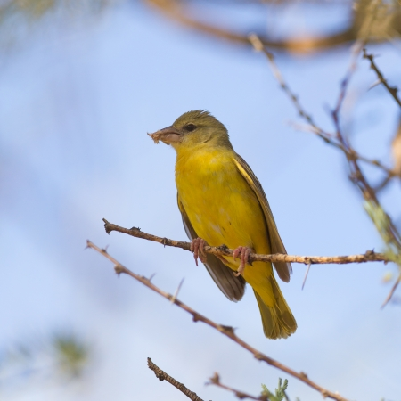 roaming: Yellow Canary sitting in a tree, Namibia