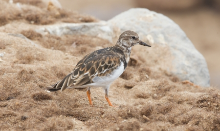 south african birds: Sandpiper on the beach at Cape Cross, Namibia Stock Photo