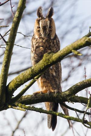 eared: Long Eared Owl (Asio otus) in a tree
